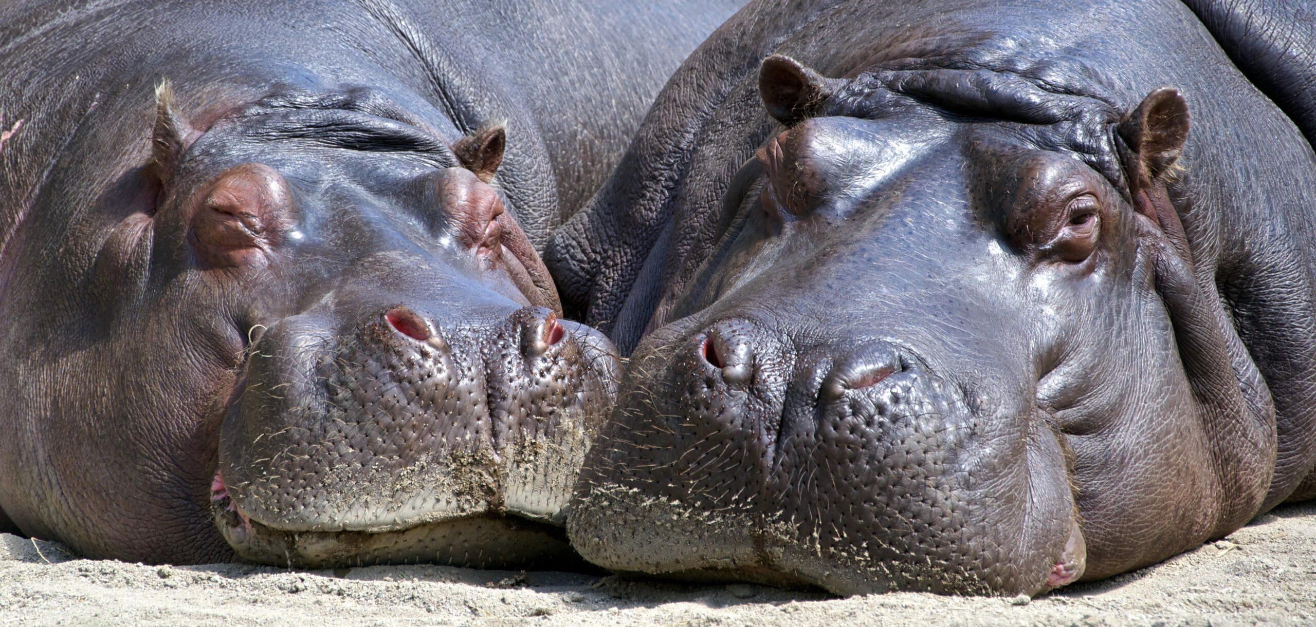 Escobar's Hippos