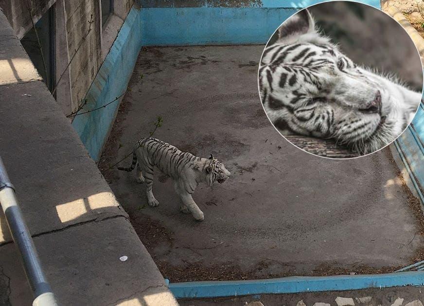 Depressed Tiger