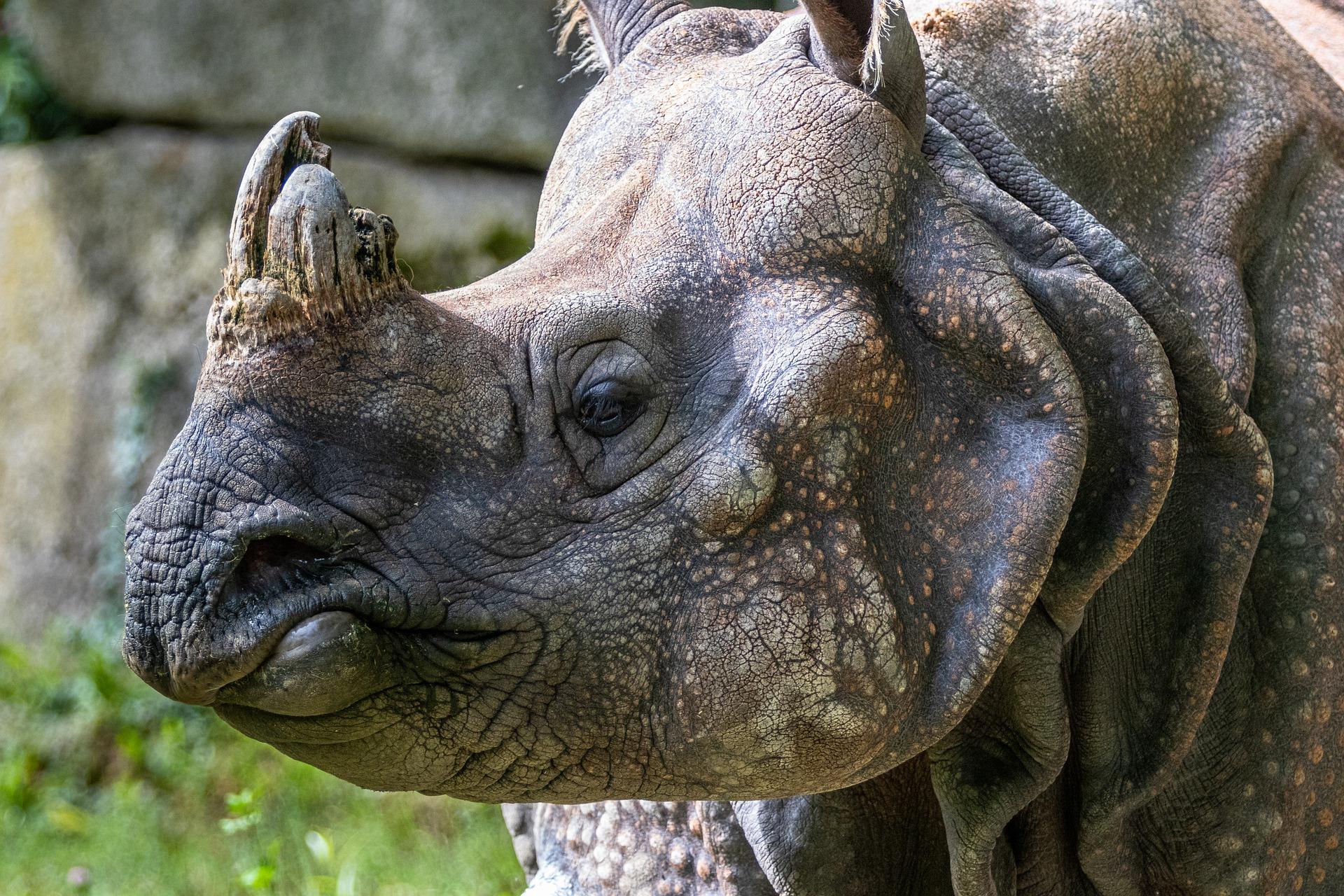 Rhino Population