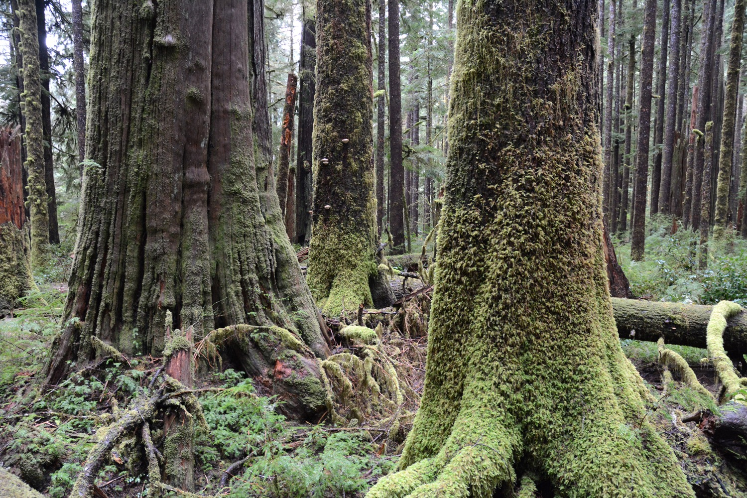 old-growth tree