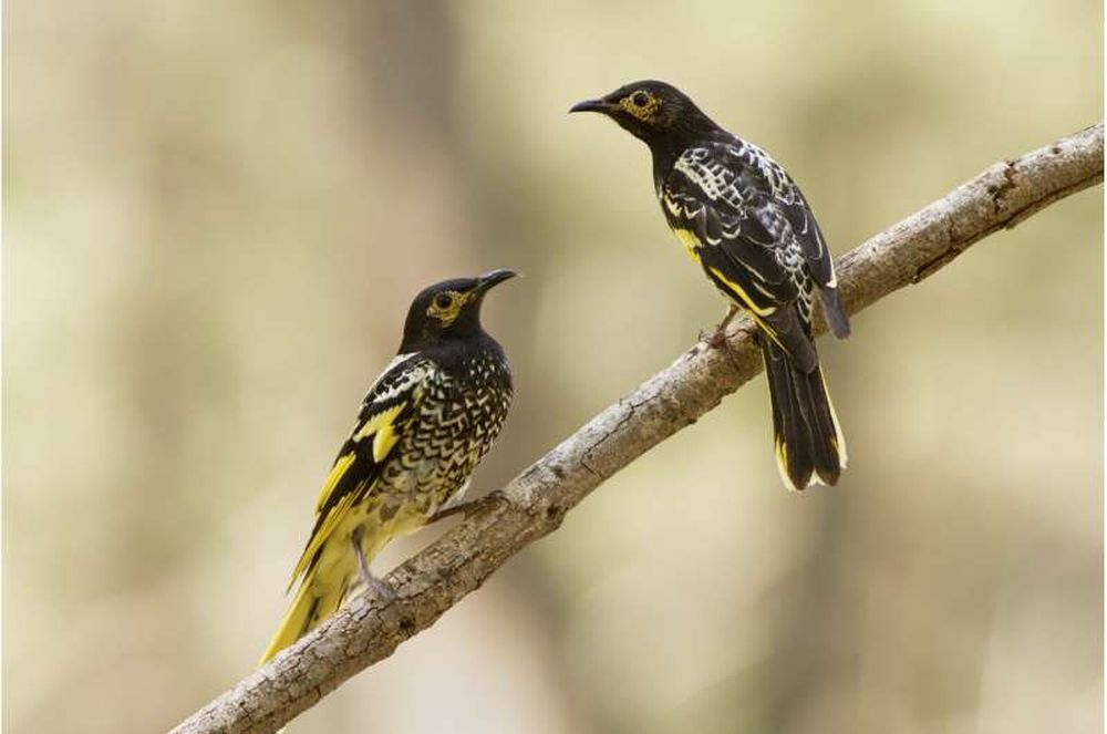 Australian Songbirds