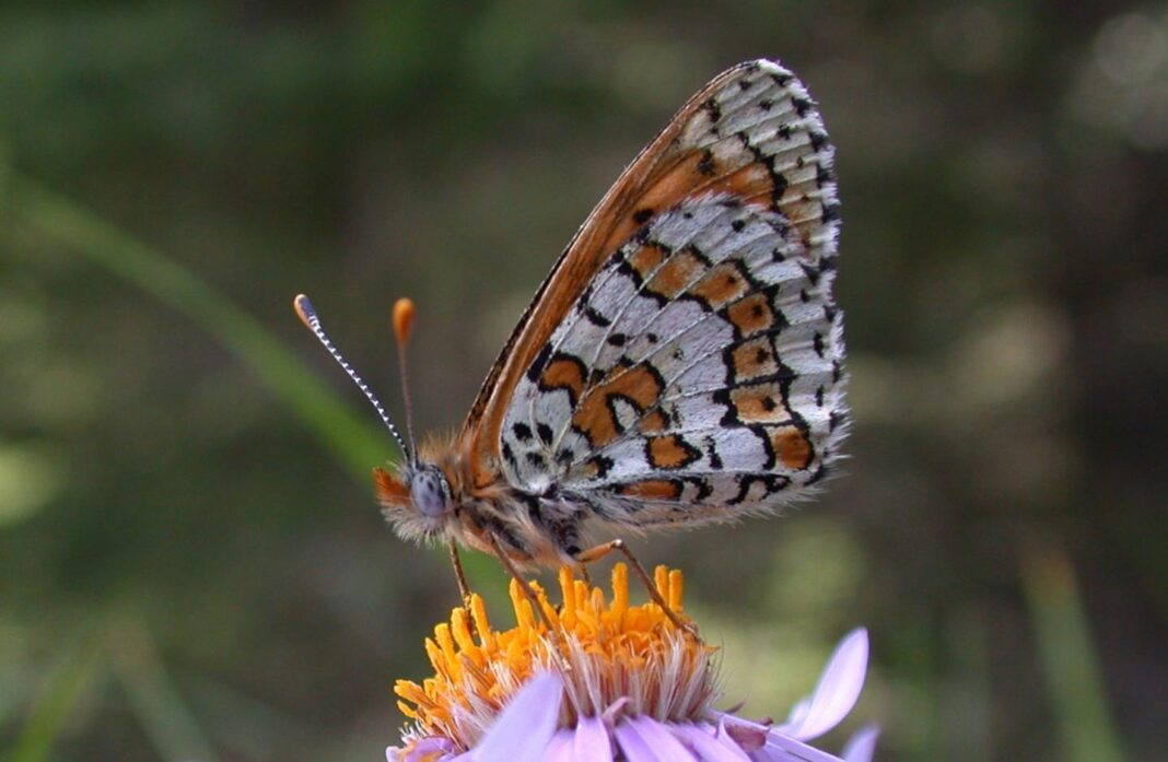 butterfly extinction