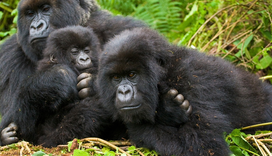 African Great Apes
