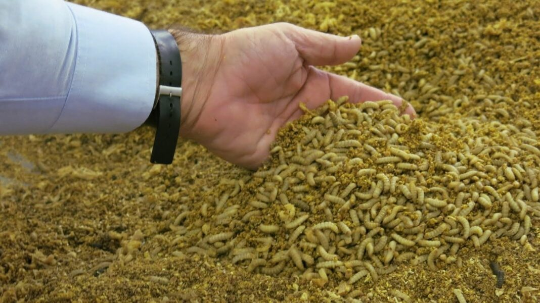 insect animal feed