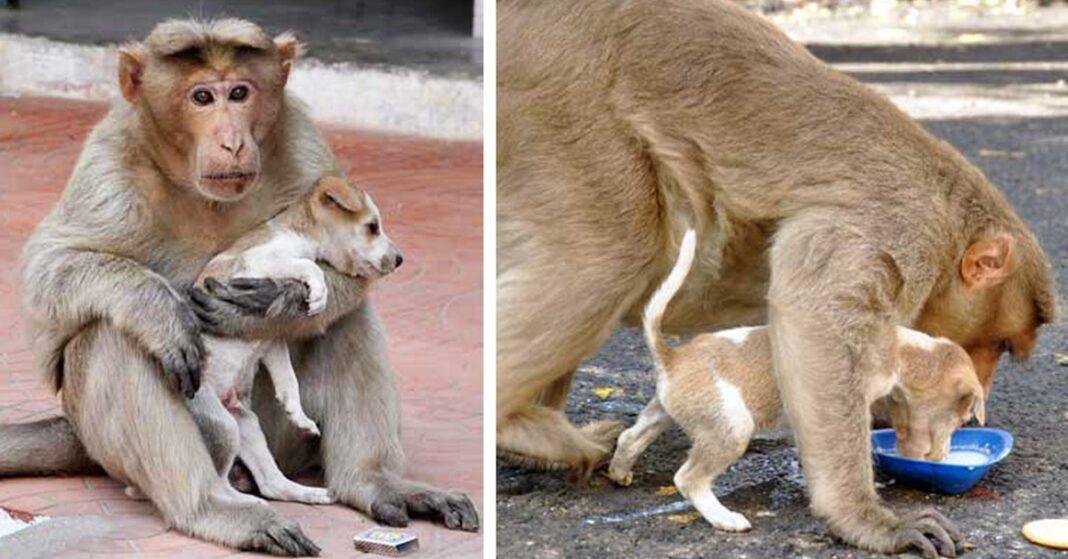 monkey adopts puppy