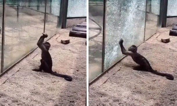 monkey tries to escape
