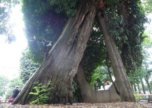 paris' oldest tree