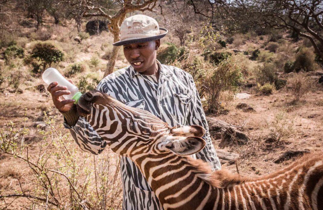 orphaned zebra