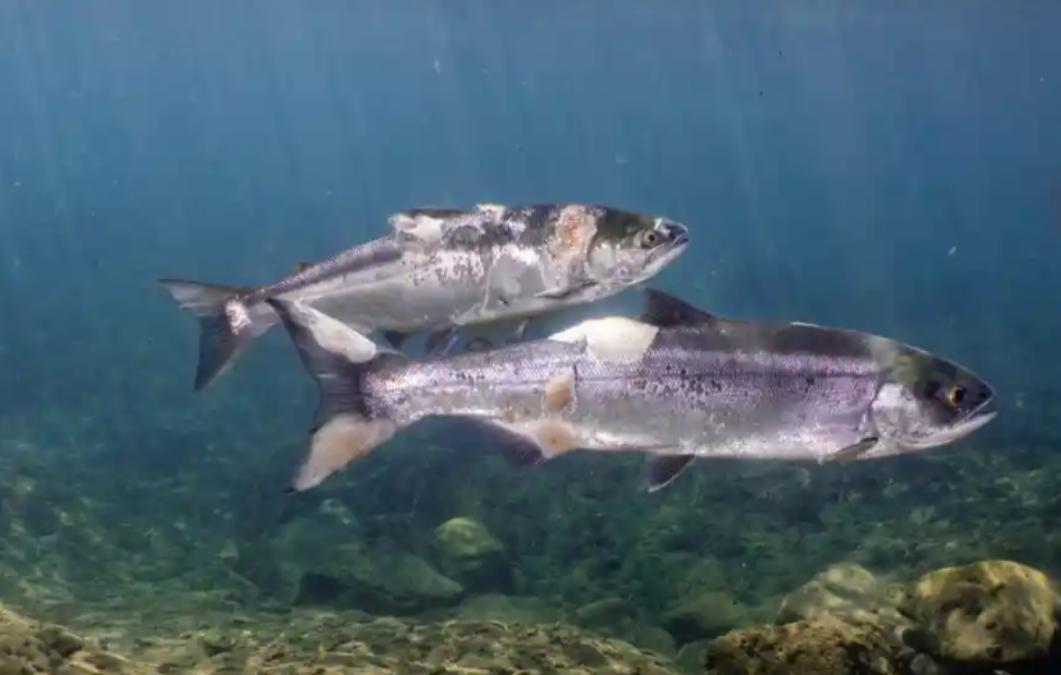 injured salmon