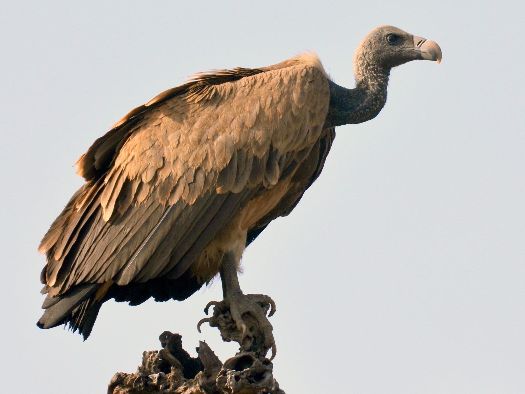 indian vultures