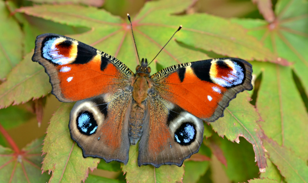 Butterfly Count