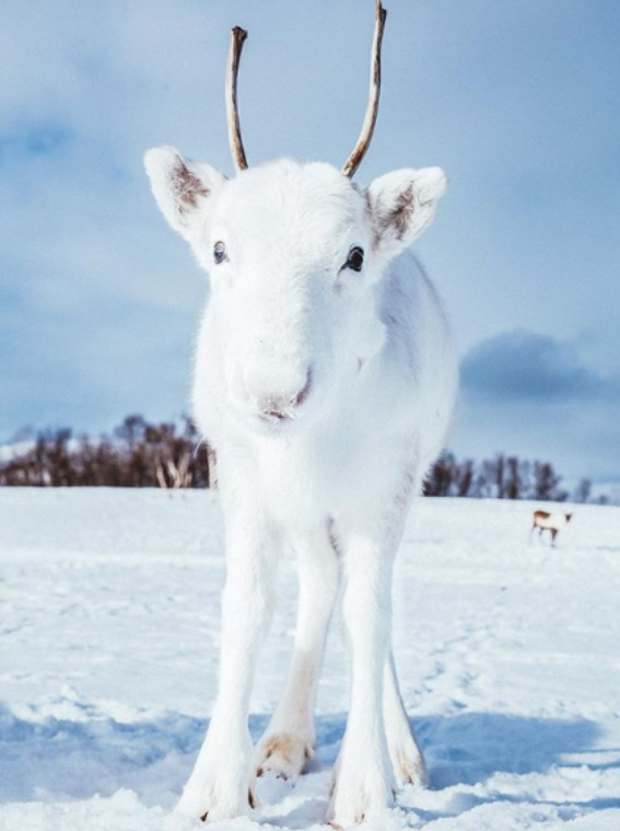 White Reindeer Calf