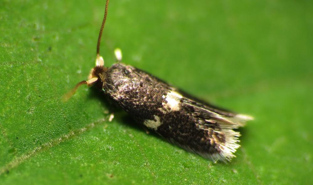 Pygmy Sorrel Moth