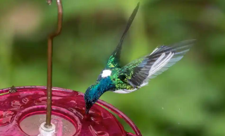 Female Hummingbirds