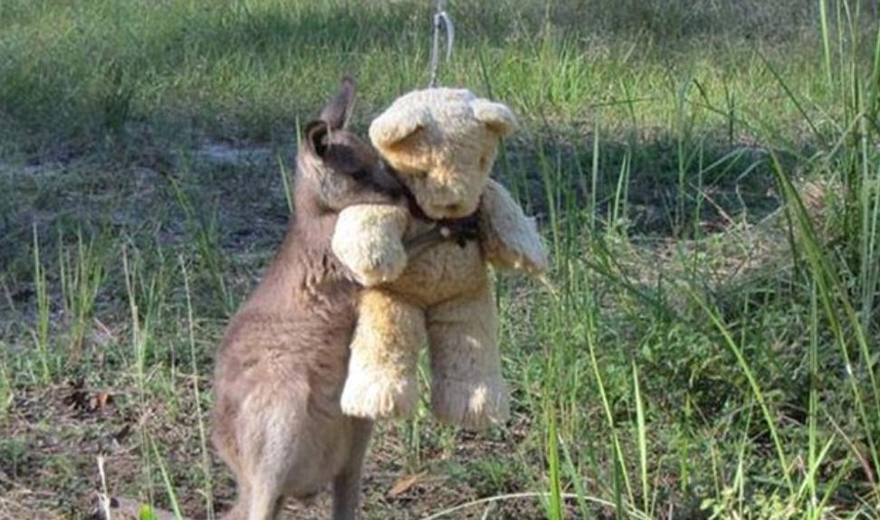 Orphaned Kangaroo