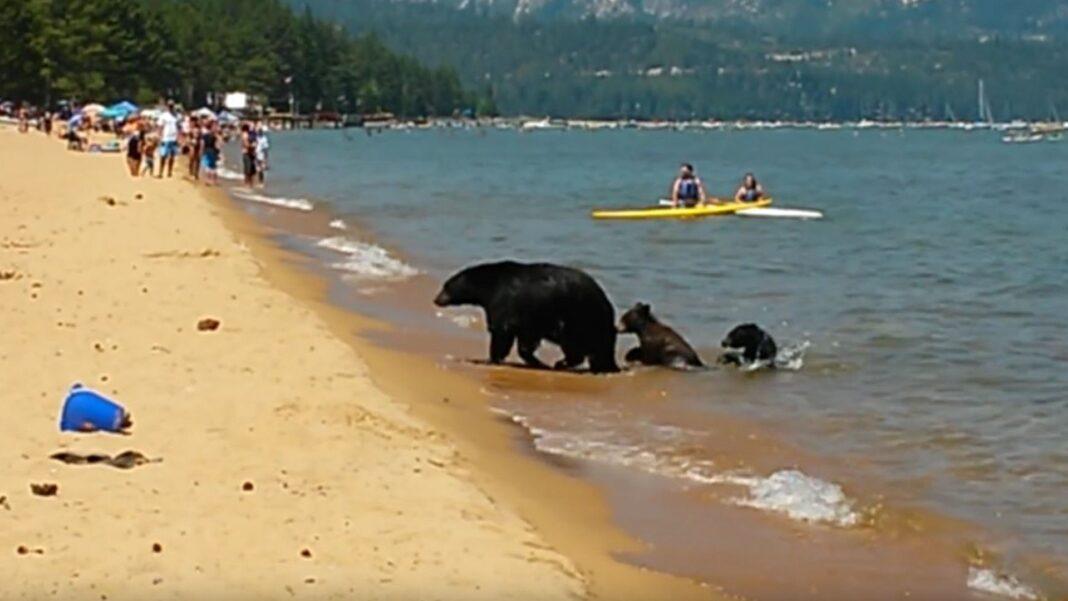 bathing bear family