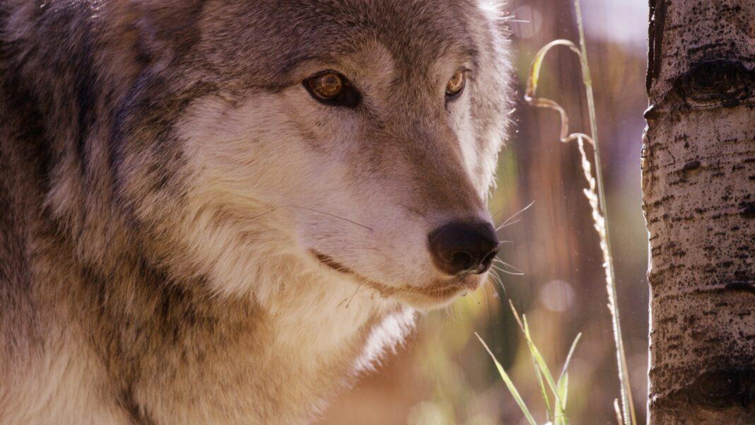 colorado wolf litter
