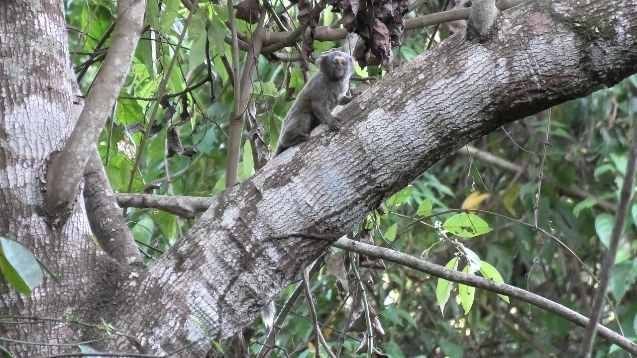 buffy-headed marmoset