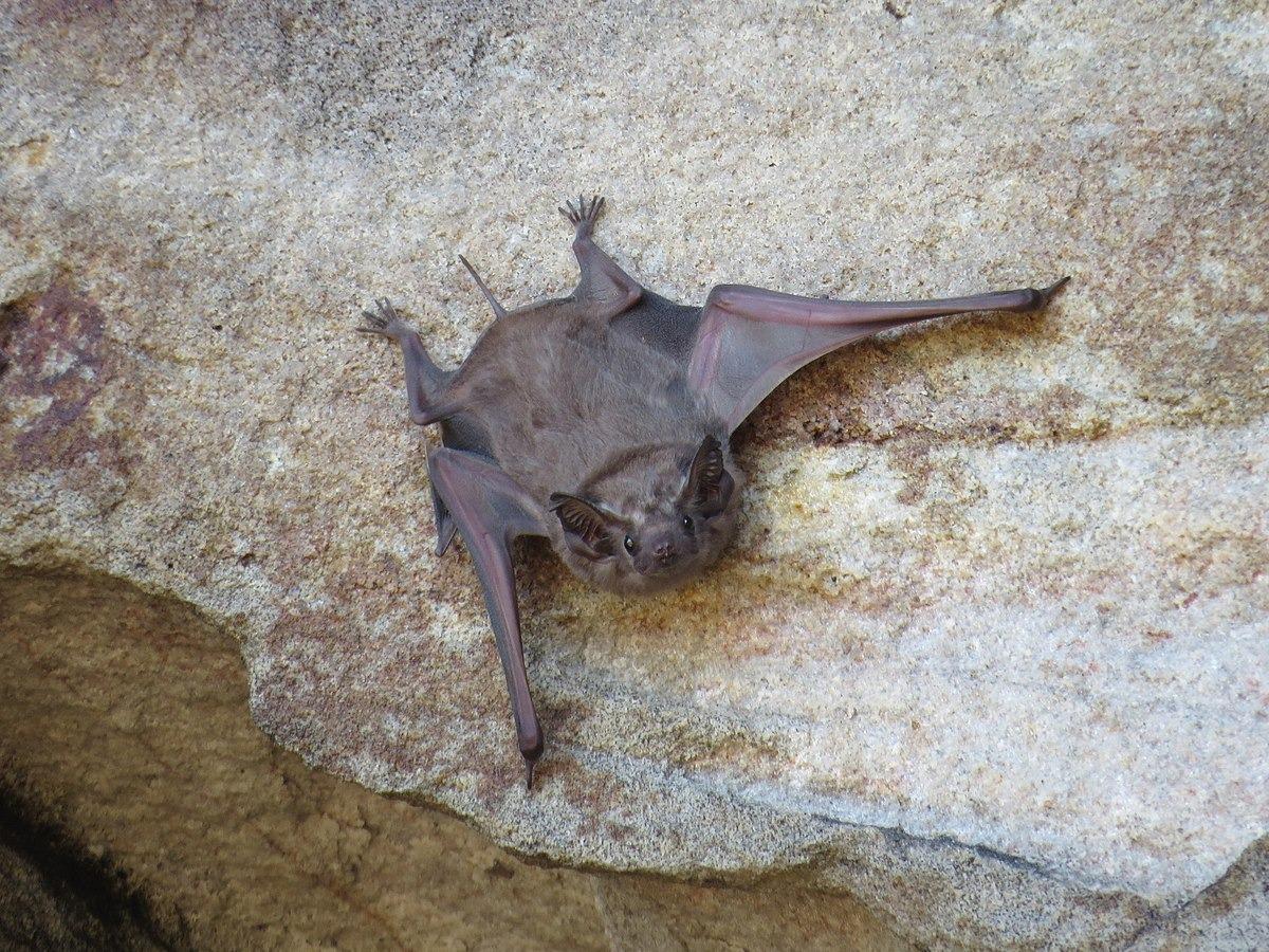 pacific island bats