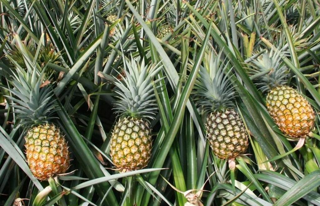 Pineapple Agroforestry