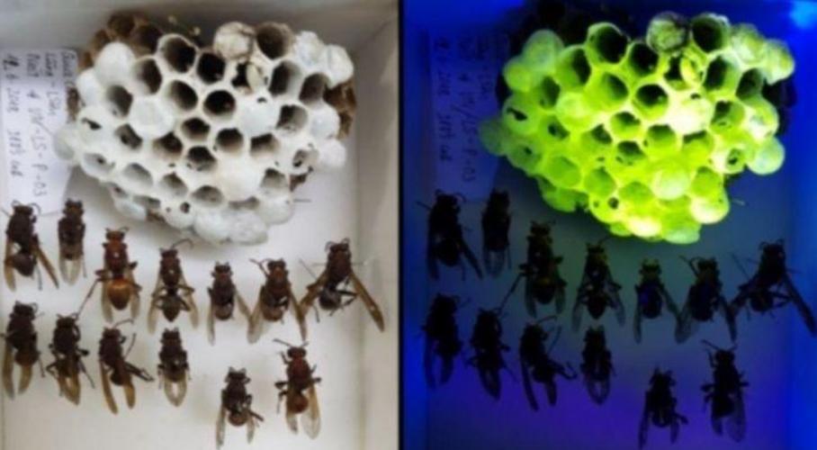 Fluorescent Wasp Nests