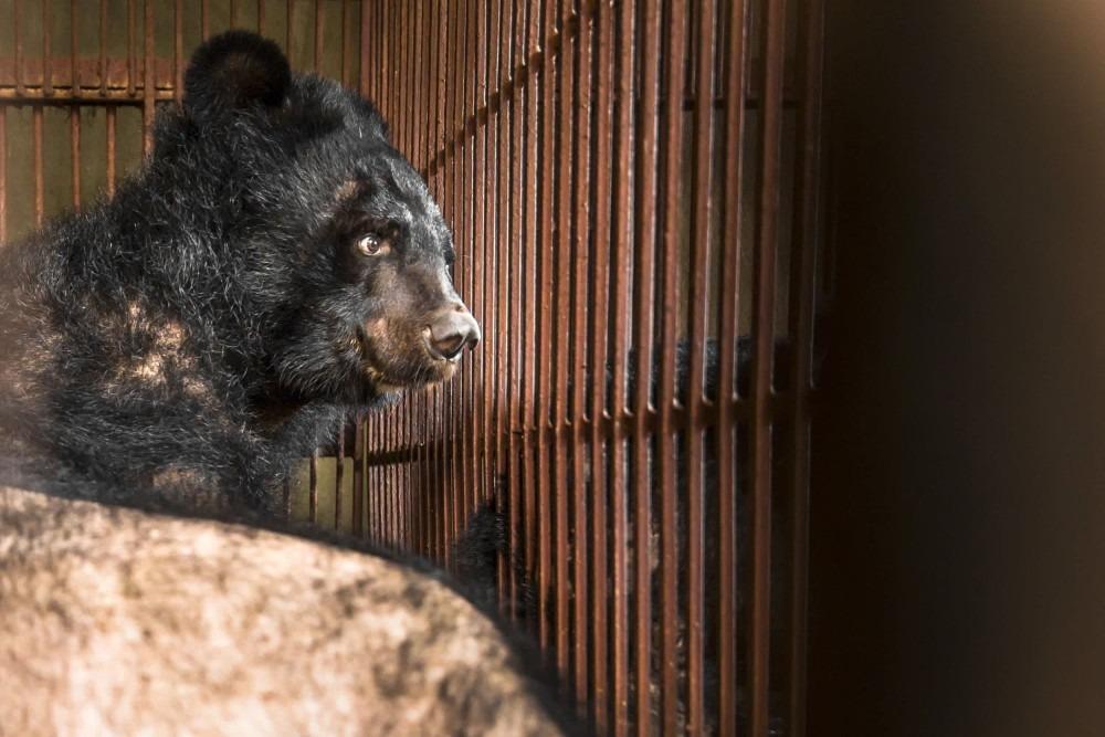 bear-bile farming