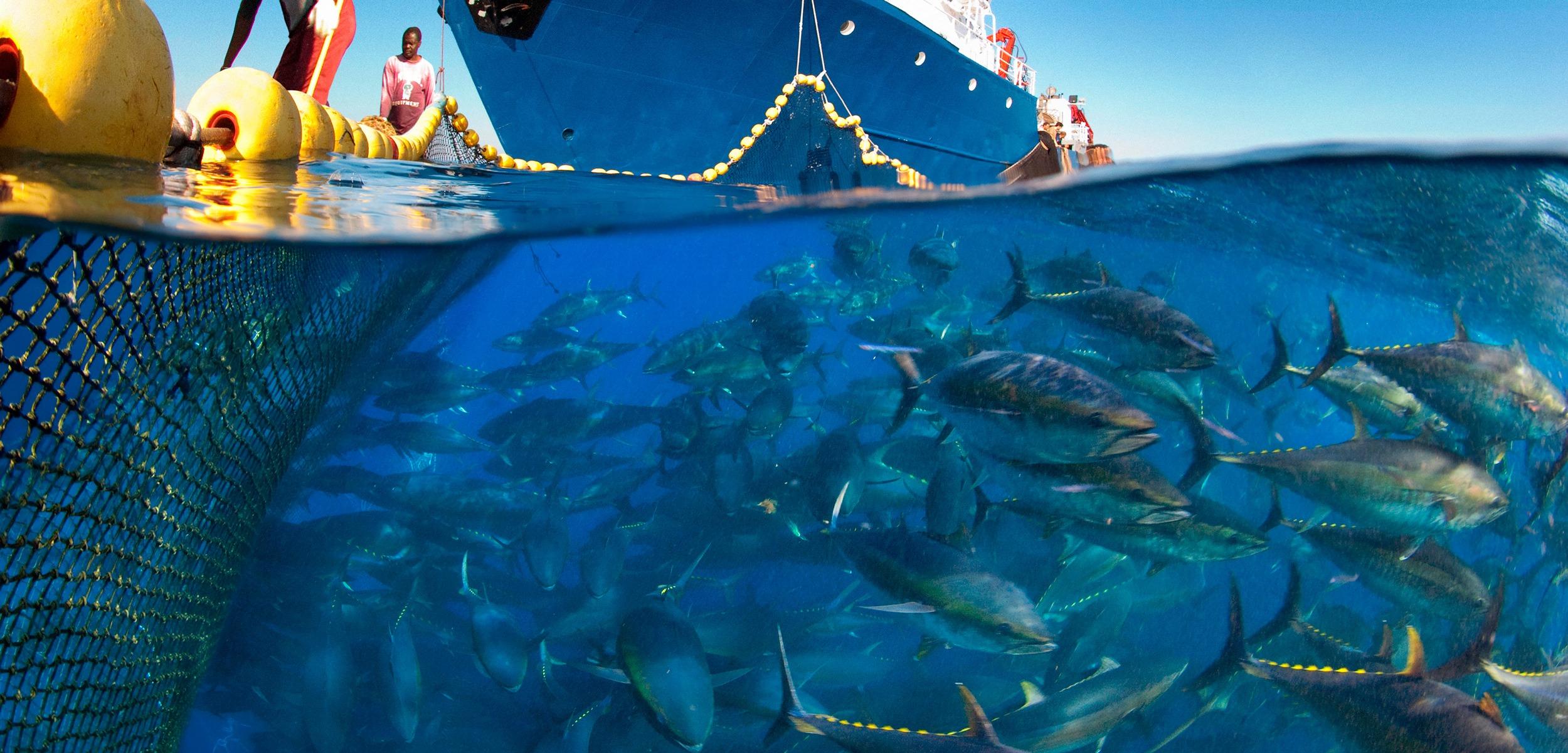 tuna migration
