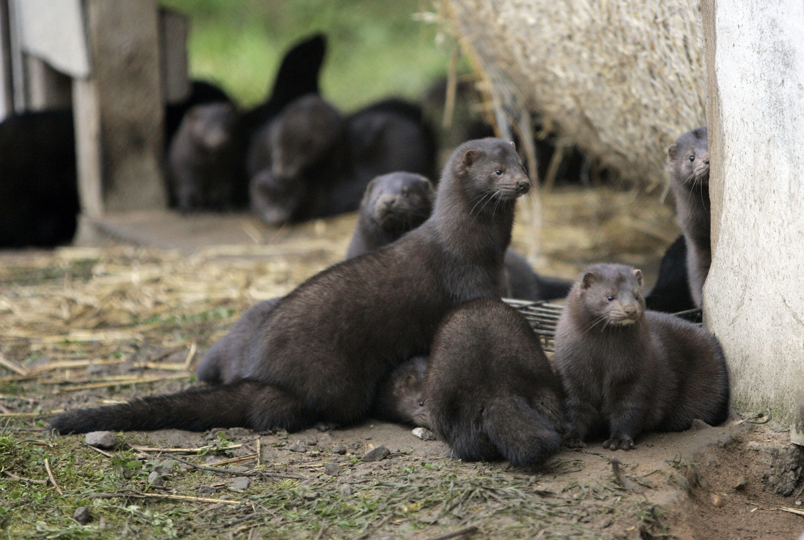 mink farming